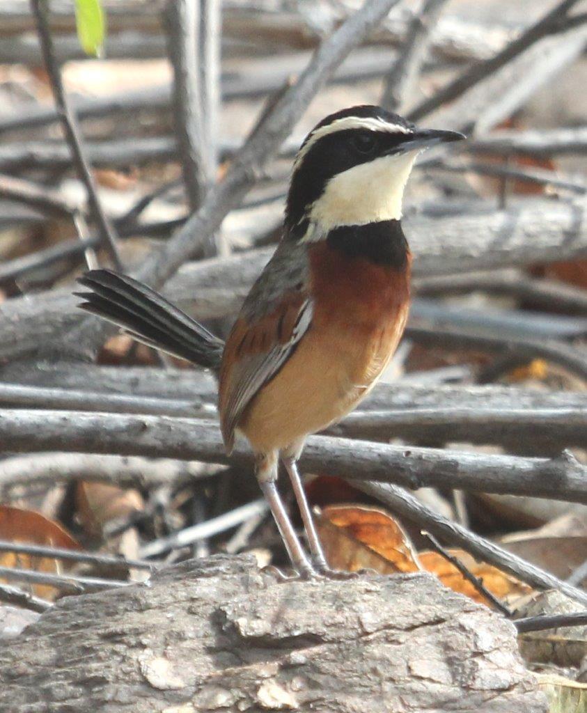 Elegant Crescentchest at Chaparri Ecological Reserve.
