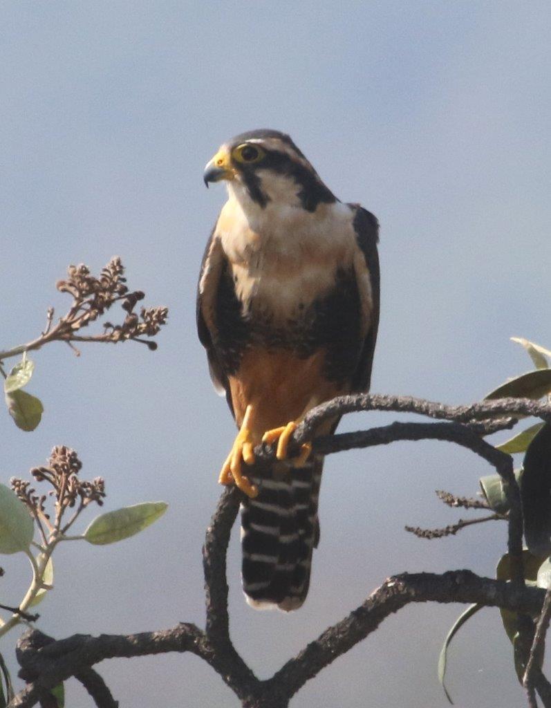 Aplomado Falcon at Chaparri Ecological Reserve.