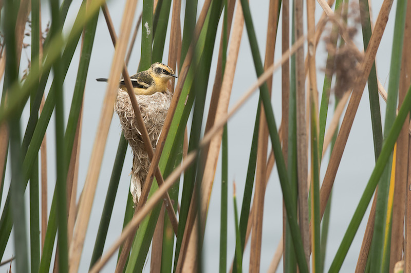A Many-Coloured Rush Tyrant nesting in Totora Reed.