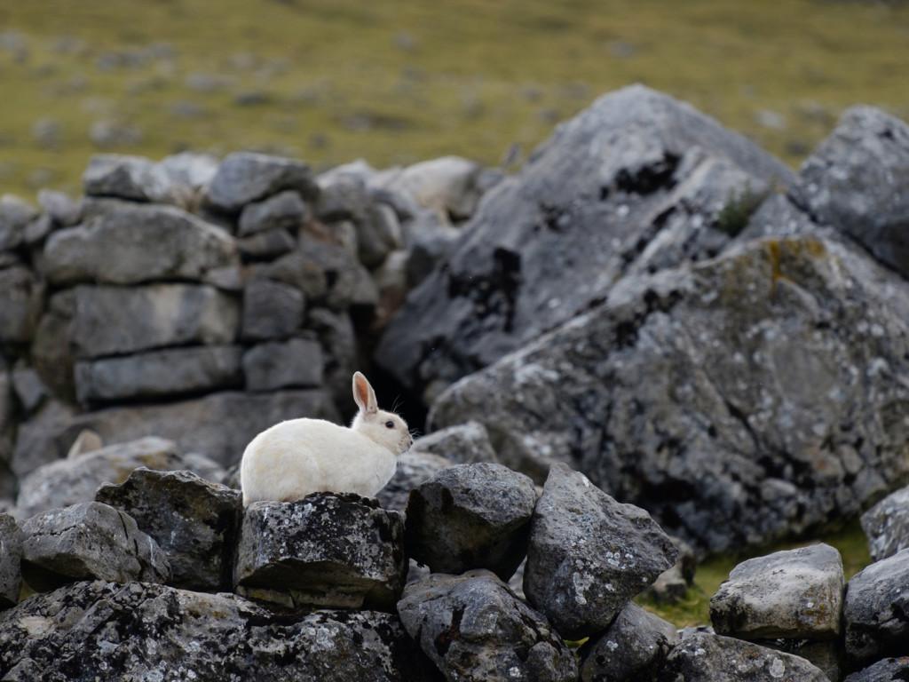 White rabbit relaxing at  Tambo Grande .