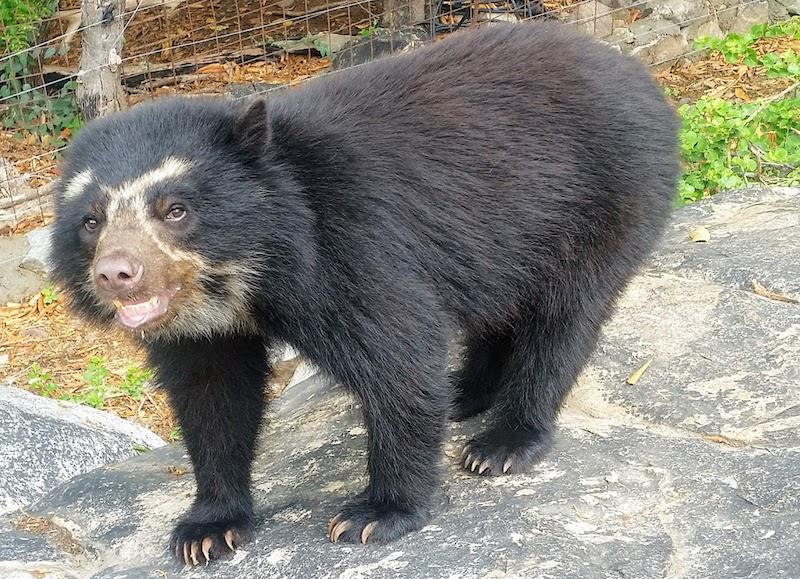 Spectacled Bear - Chaparri Ecological Reserve Enclosure.jpg