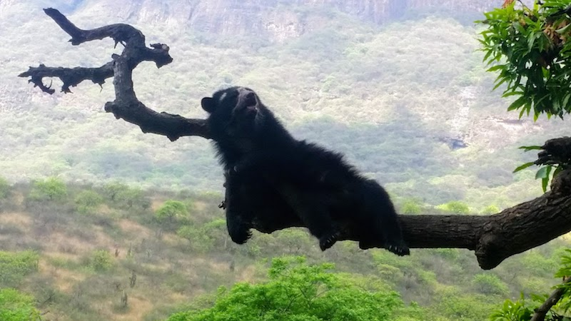 Spectacled Bear in Tree - Chaparri Ecological Reserve.jpg