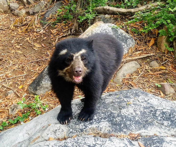 Spectacled Bear in Tree - Chaparri Ecological Reserve - Facial Markings.jpg