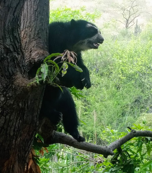 Spectacled Bear on Tree Branch- Chaparri Ecological Reserve.jpg