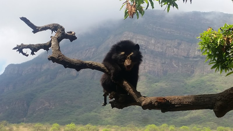 Spectacled Bear with Chaparri Mountain in background.