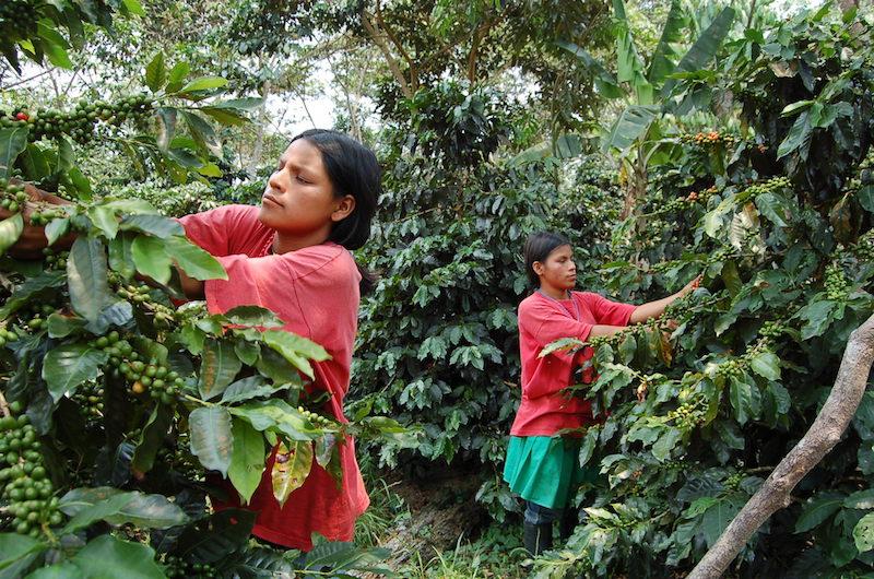 Quechua-lamista ladies picking coffee beans.