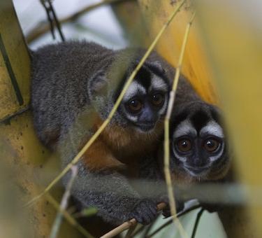 Musmuqui o mono nocturno en el Parque Nacional Yanachaga - Chemillén.jpg