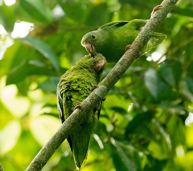 Allpahuayo-Mishana & Pacaya-Samiria 6D - Cobalt-winged Parakeets.jpg