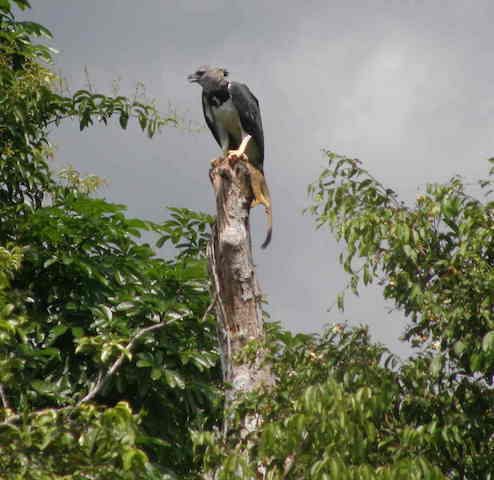 Allpahuayo-Mishana & Pacaya-Samiria 6D - Harpy Eagle with Monkey.JPG