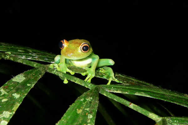 Peru's cloud forest is home to multiple species of tree frog.
