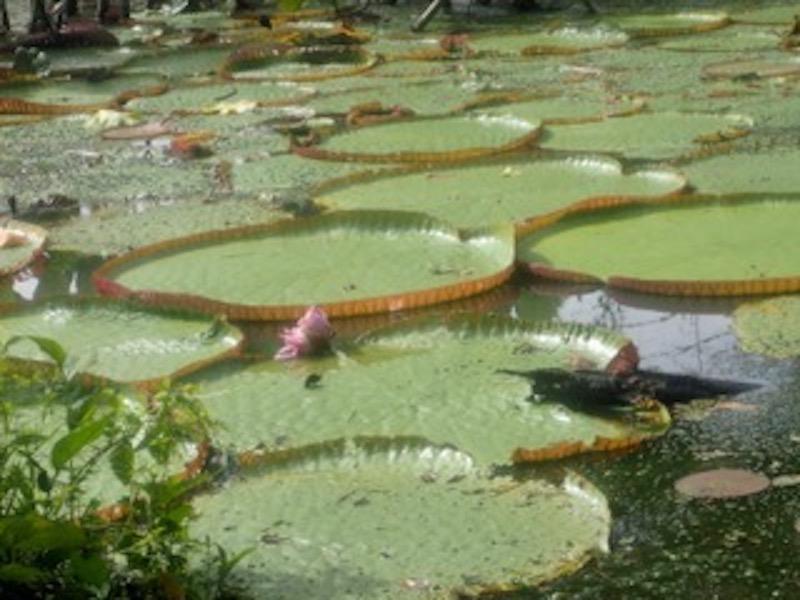 Mankoff x 6 - Spondias Testimonial - Victoria Regia Amazon Lilies.jpeg