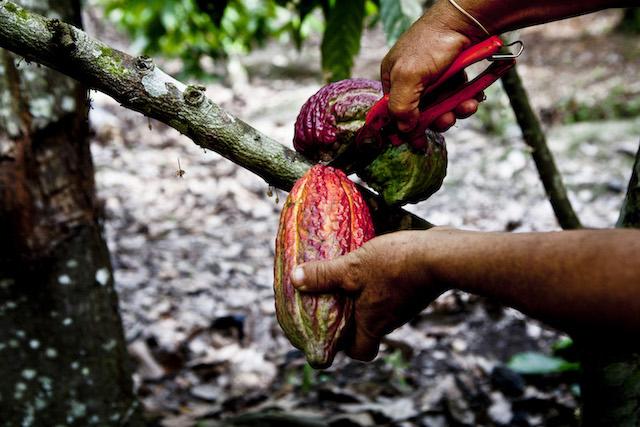 Cacao  pods near Tarapoto.
