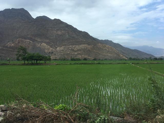 Eckett x 3 - Northern Peru trip - Rice Field near Trujillo.jpeg