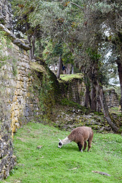 O'Donnell x 2 - Pumarinri & Gocta Lodge Review - Kuelap Llama.jpeg