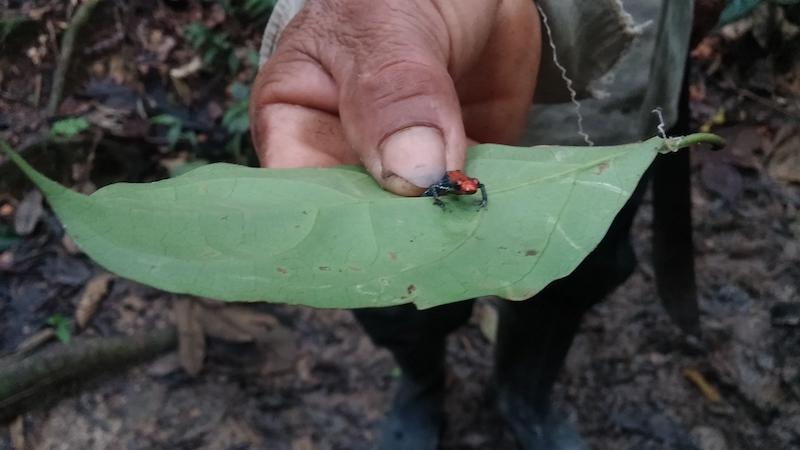 Walter x 2 Testimonial - Pacaya-Samiria Lodge - Poison Dart Frog.jpg
