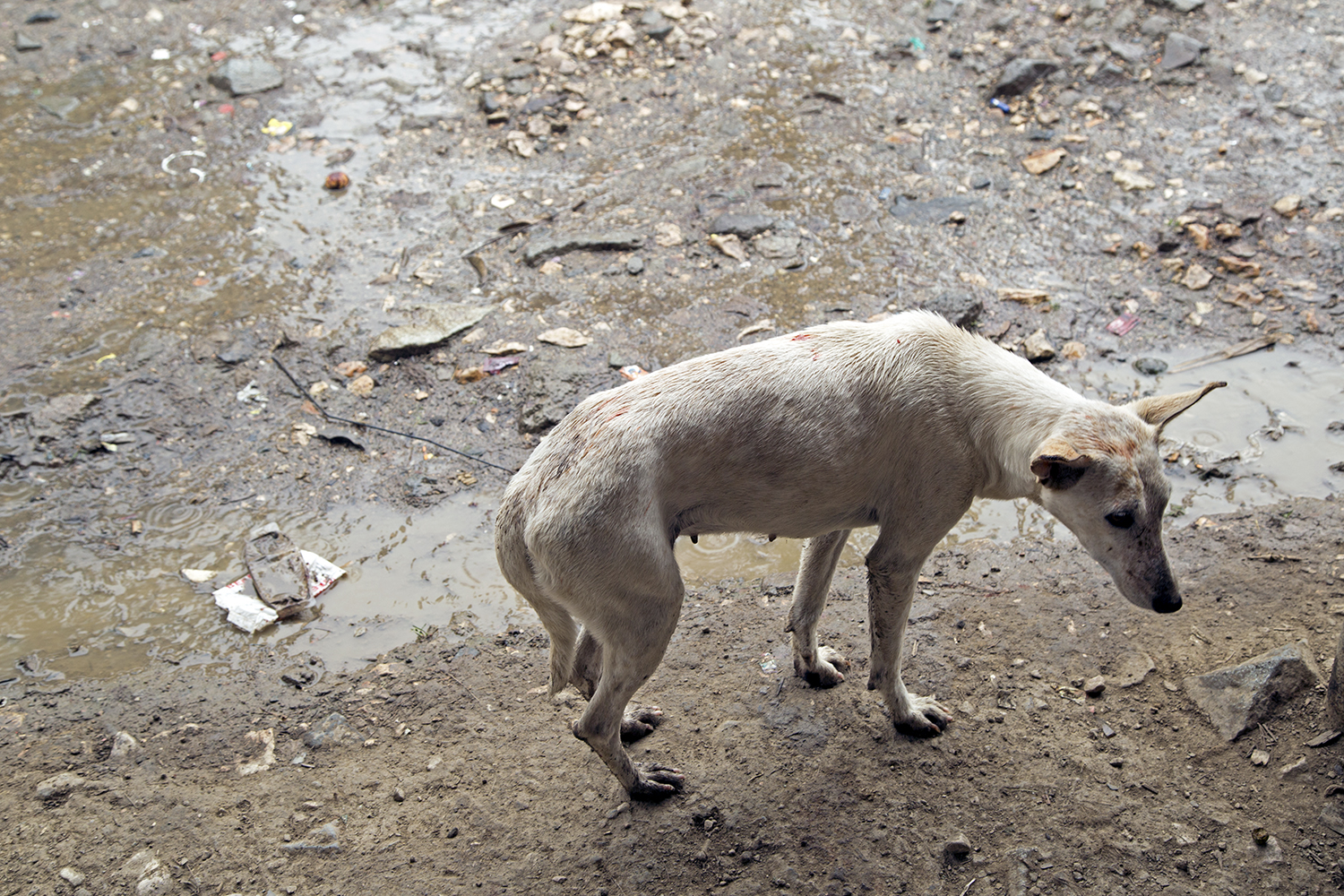 Stray dog, Mugalep Village, Porgera, 2015