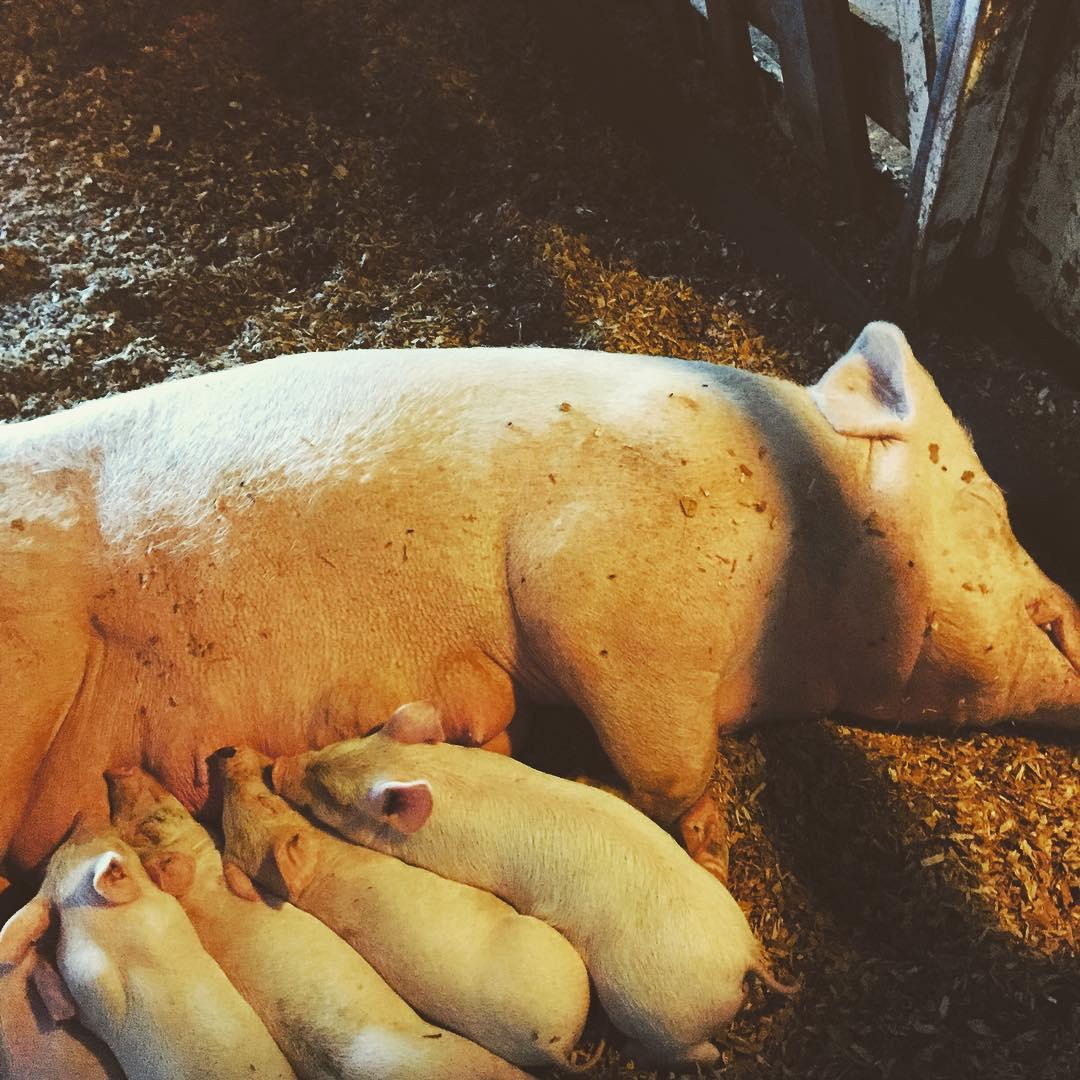 Happy babies at the Shaw Family Farm    #hillsfoodsshawfarm  #knowyourfarmer    #knowyourfood     - Natalie Browne (Instagram) (  https://instagram.com/p/8MFtBoEar4/ )