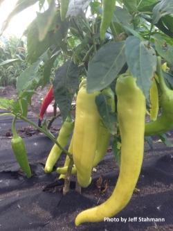 Hot Banana Chili