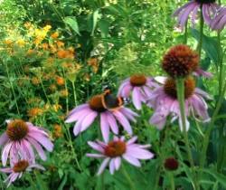 Red admiral Butterfly on Puple Coneflower with Butterfly milkweed on the Left
