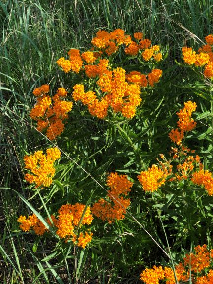 Butterfly Milkweed2._.jpg