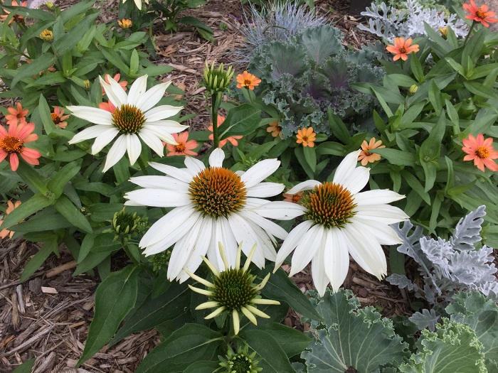 coneflower - white.jpg