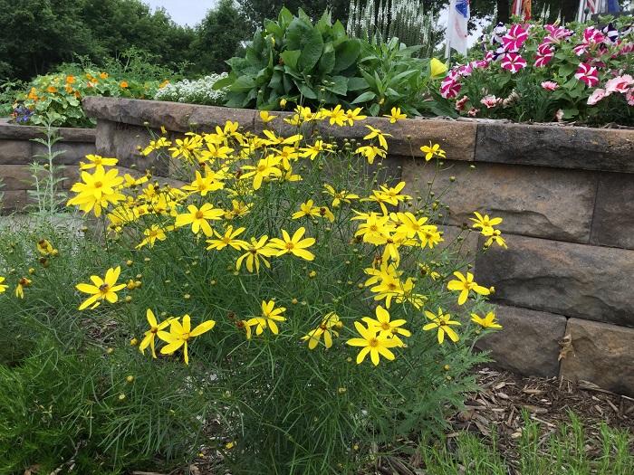 coreopsis - yellow.jpg