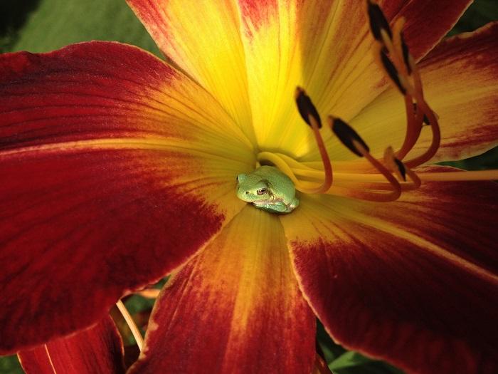 frog in Daylily in Vets Garden.jpg