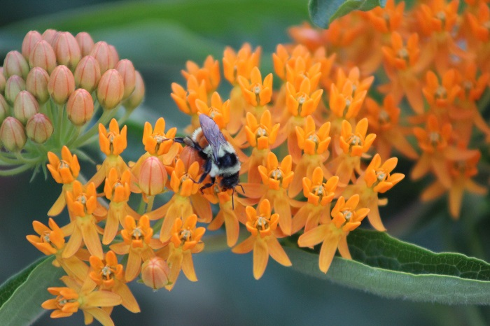 bee on butterfly weed.jpg