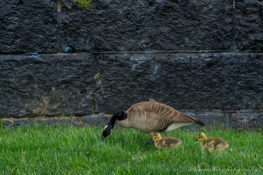 Baby Geese-Springtime20170512-6.jpg