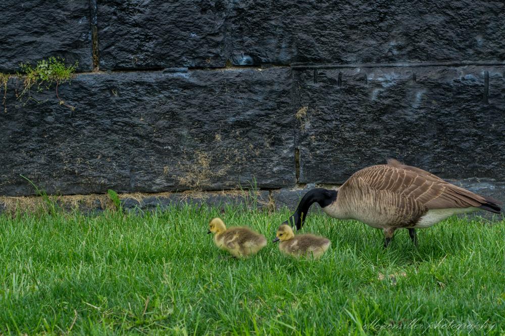 Baby Geese-Springtime20170512-7.jpg