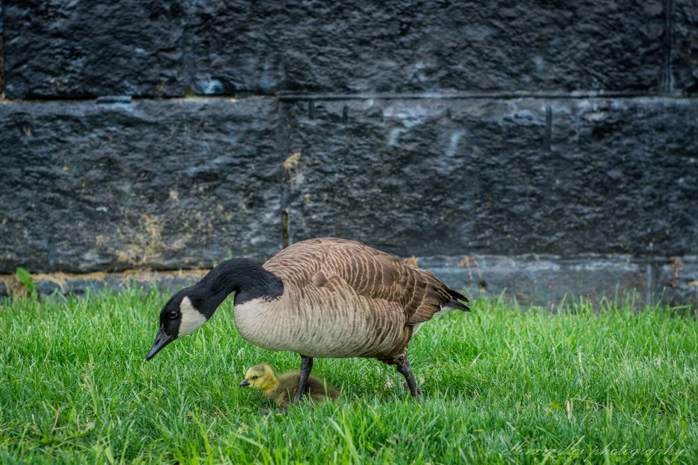 Baby Geese-Springtime20170512-10.jpg