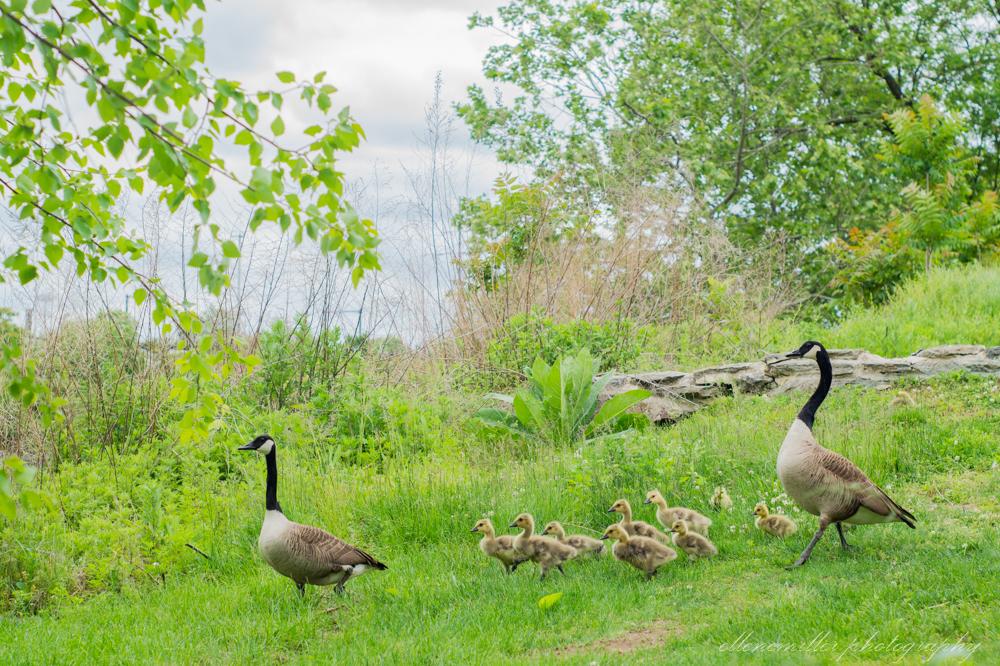 Baby Geese-Springtime20170512-12.jpg