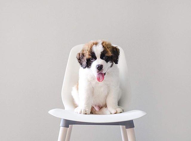 Meet Tucker! #davenportandcophotography #saintbernard #puppy #petportrait #minimalist #dogsofinstagram #detroitphotographer #dogphotography #pupstagram #detroit #detroitpetphotographer #detroitusa
