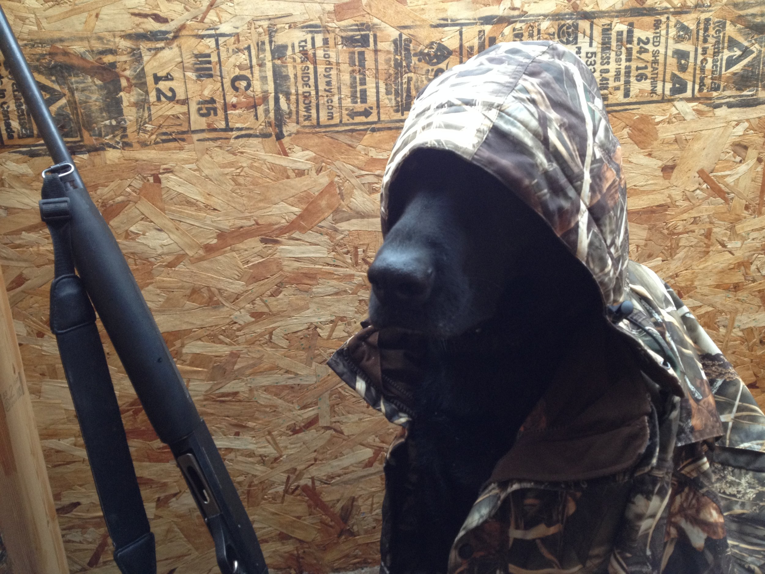 While stylish, there are no laws regarding attire for hunting dogs while in the field.