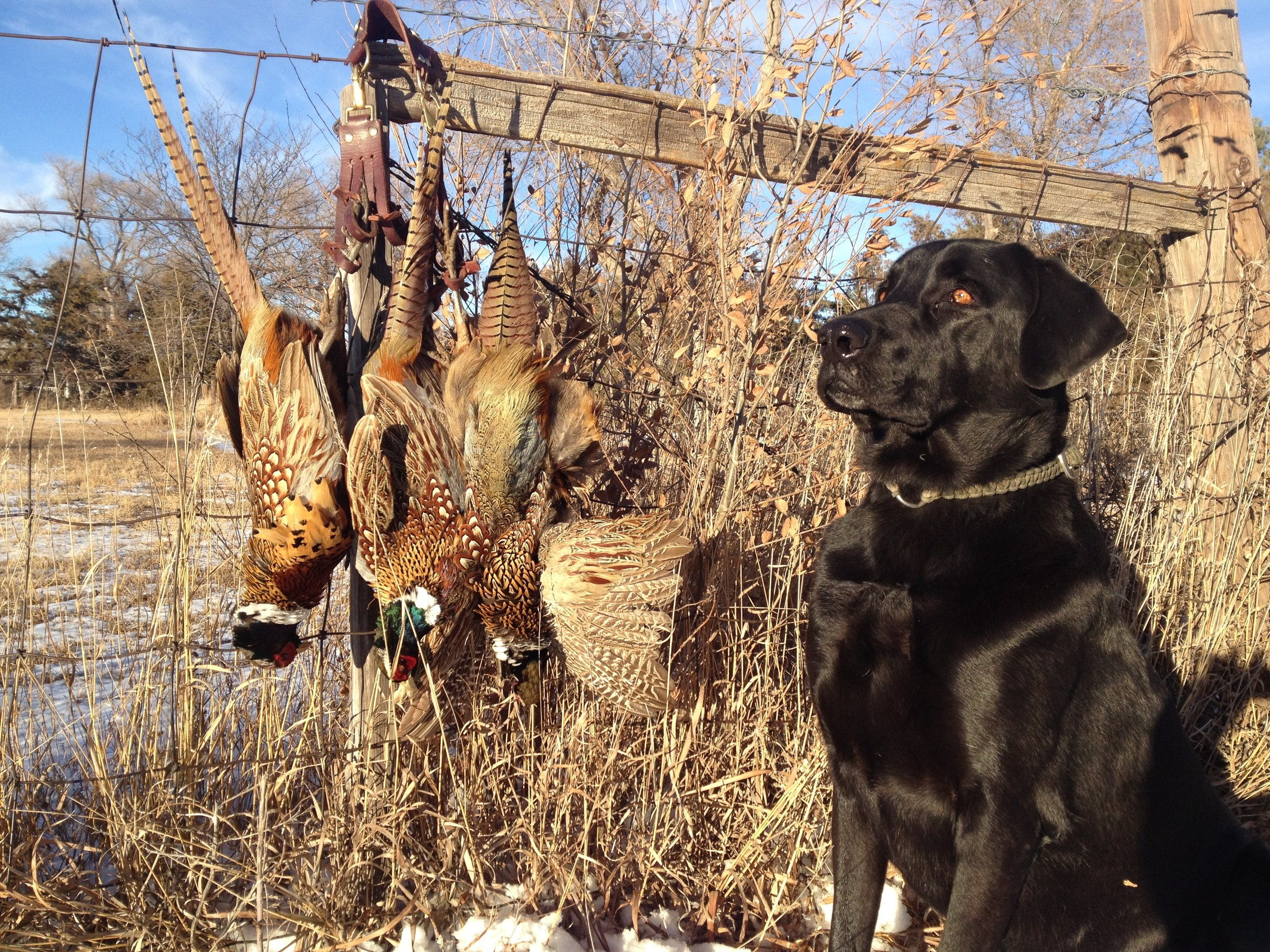 A good retriever is the best way to prevent loss of game birds while in the field and being issued a hunting violation for failure to retrieve your animals.