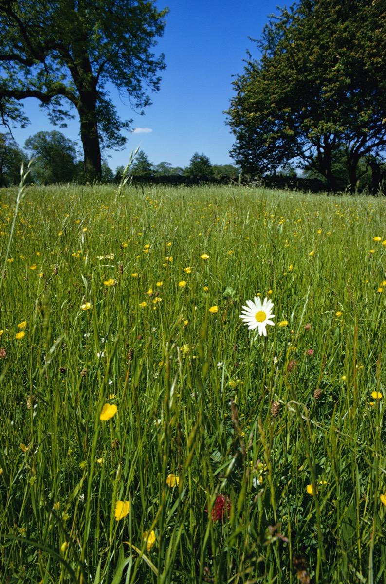 Ox Eye Daisy in meadow