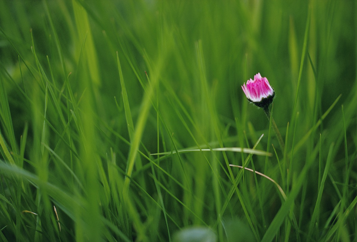 Daisy in grass