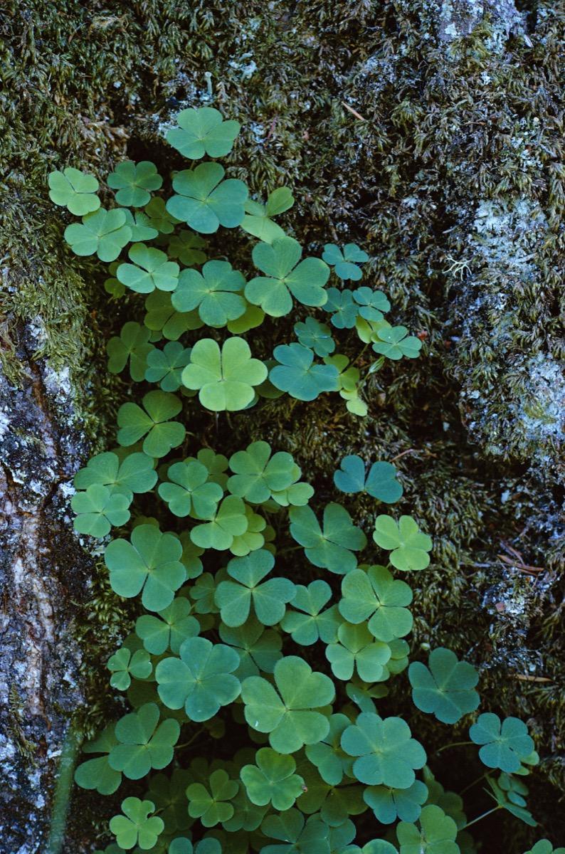 Wood Sorrel leaves