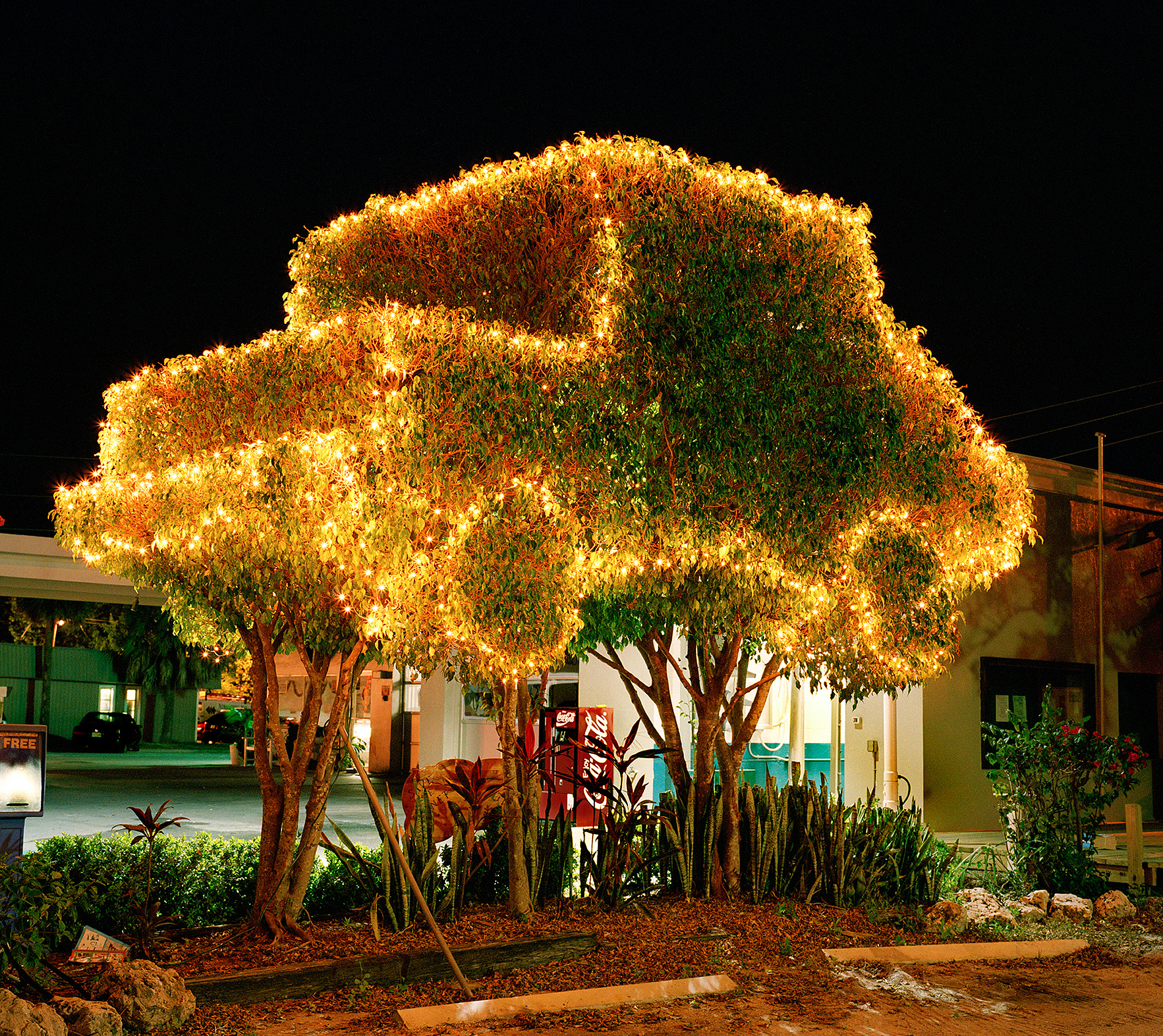 Ficus Luminous