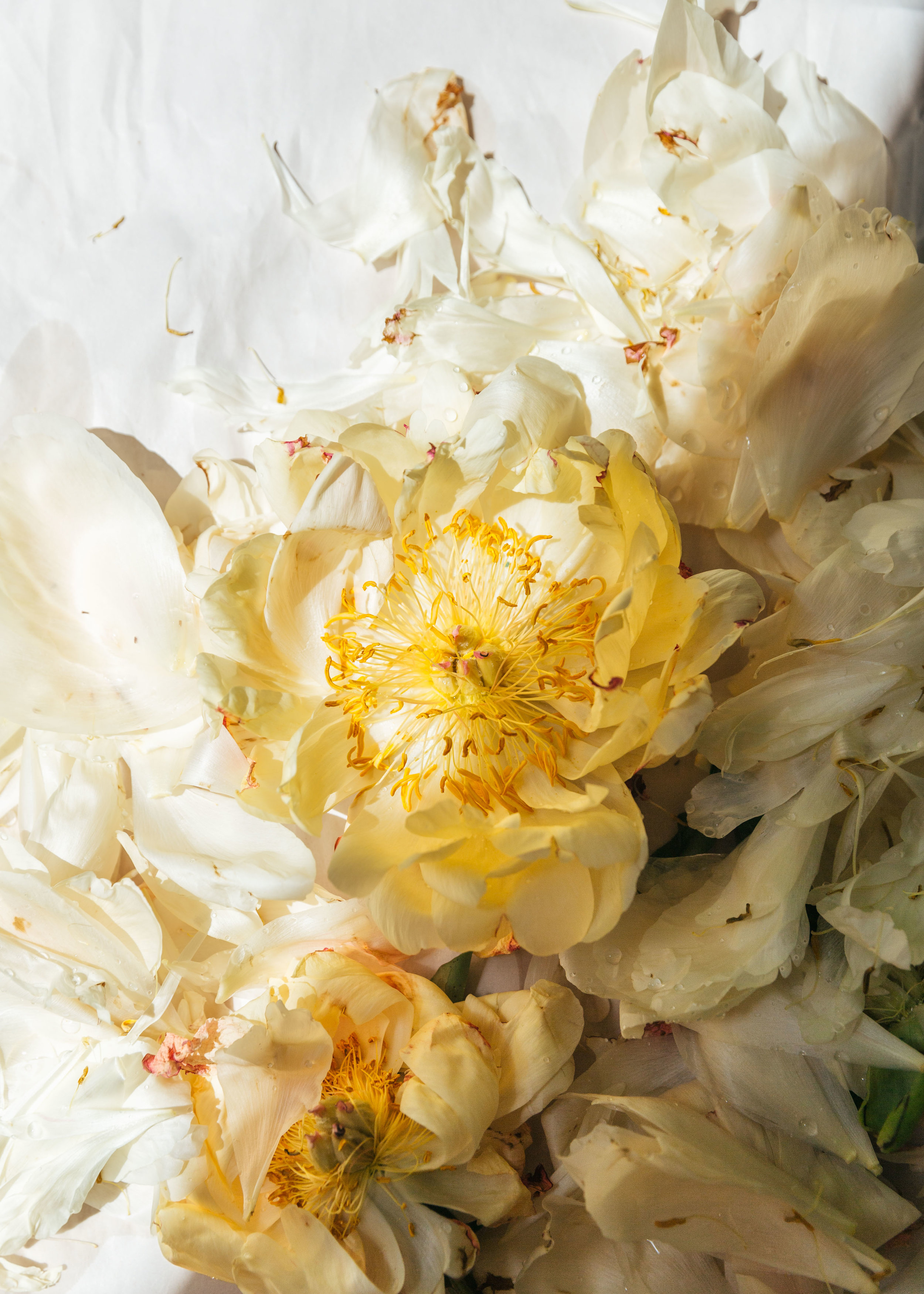 dying peonies I