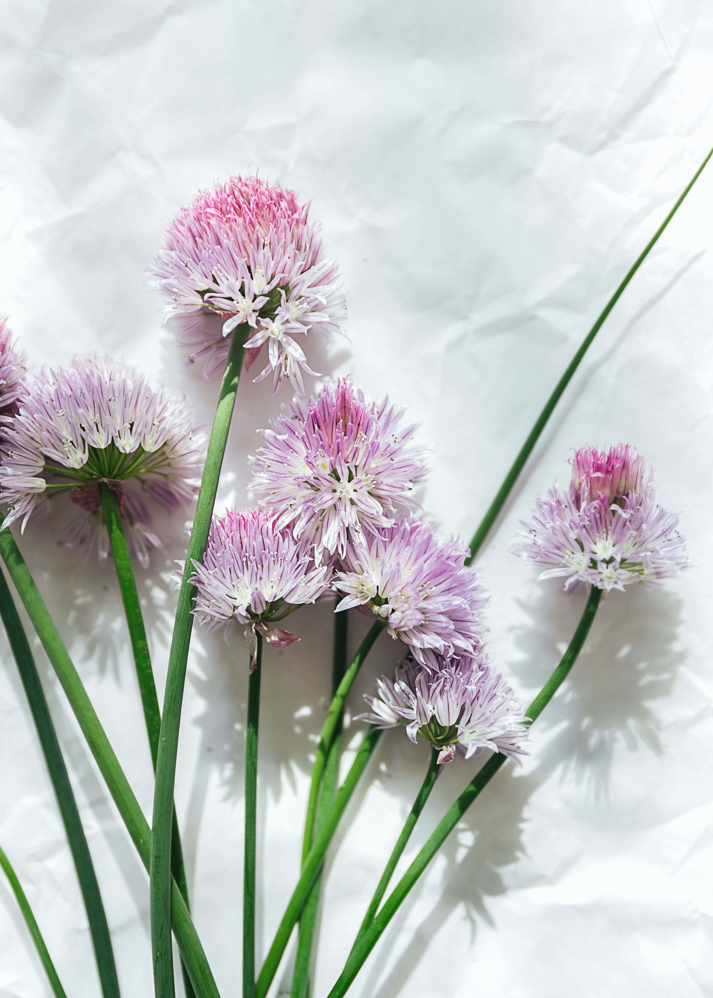 chive flowers from papa's yard