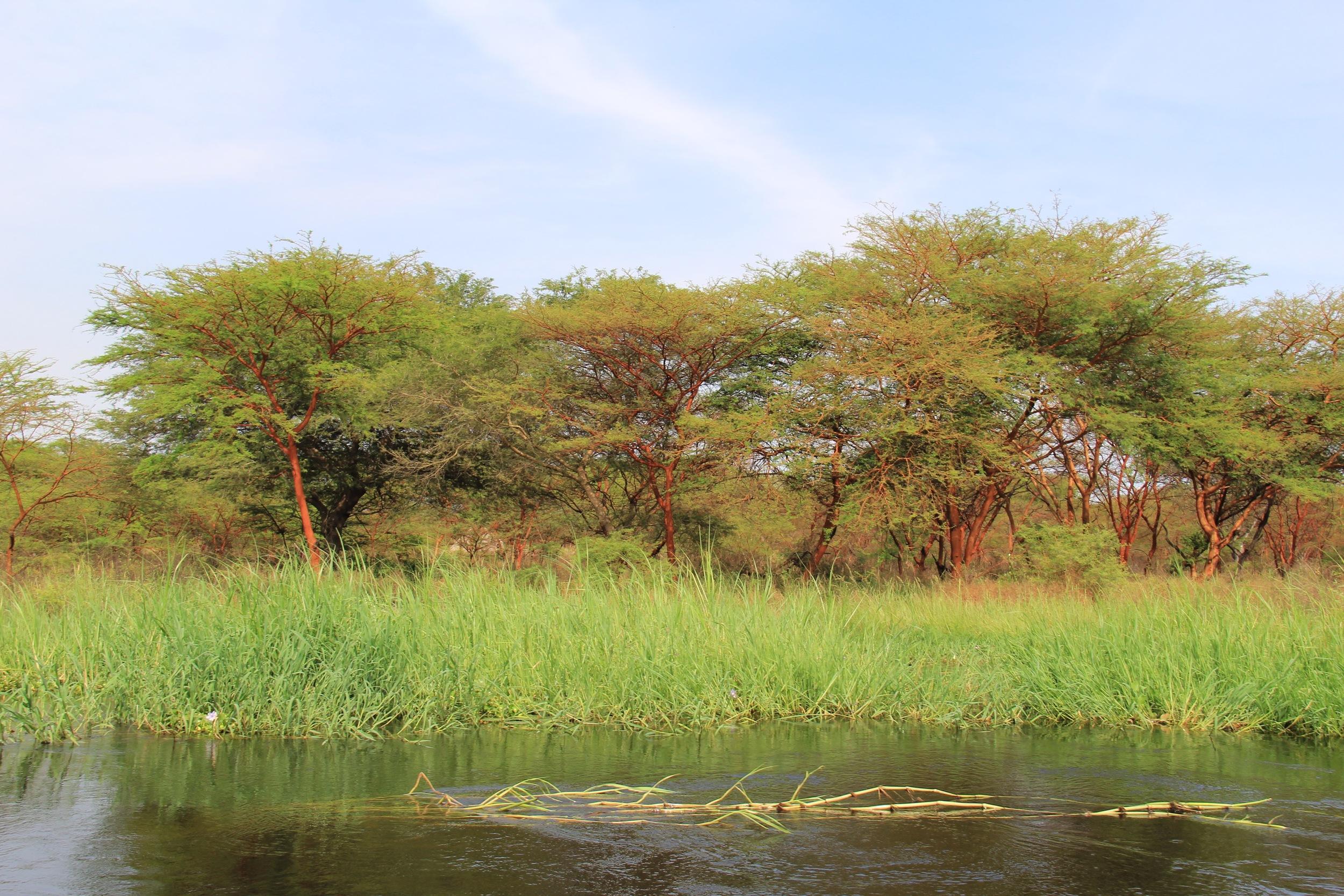 life acacia where the sandfly lives.jpg