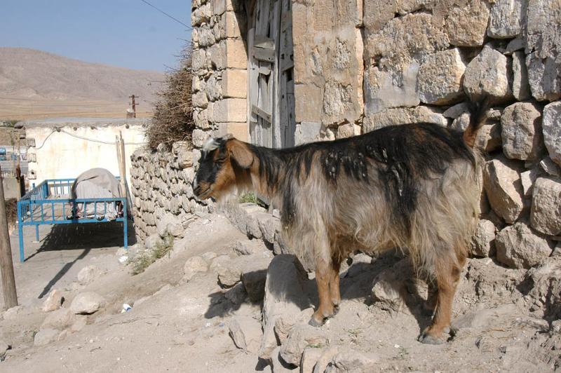 Siirt Goat