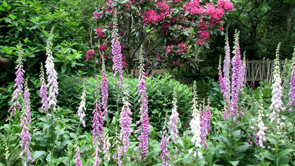 Foxglove and Rhododendron