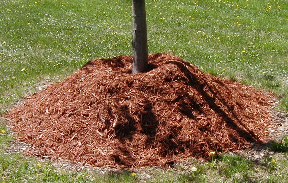 Example of improper mulching technique, which can lead to poor plant health or death