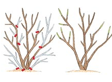 Thinning shrubs allows light and air to better penetrate the shrub. Removing old wood helps keep a shrub young and vibrant.