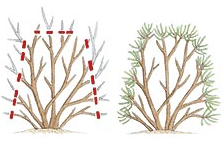 Shearing hedges so that all parts of the plant receive light creates healthier hedges.