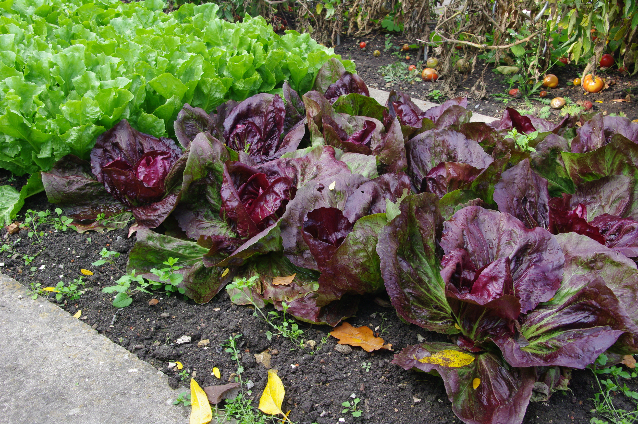 Lettuce is one of the easiest, fastest and most rewarding (not to mention budget-saving) vegetables to grow. Start them now from seed, and try some different mixes.