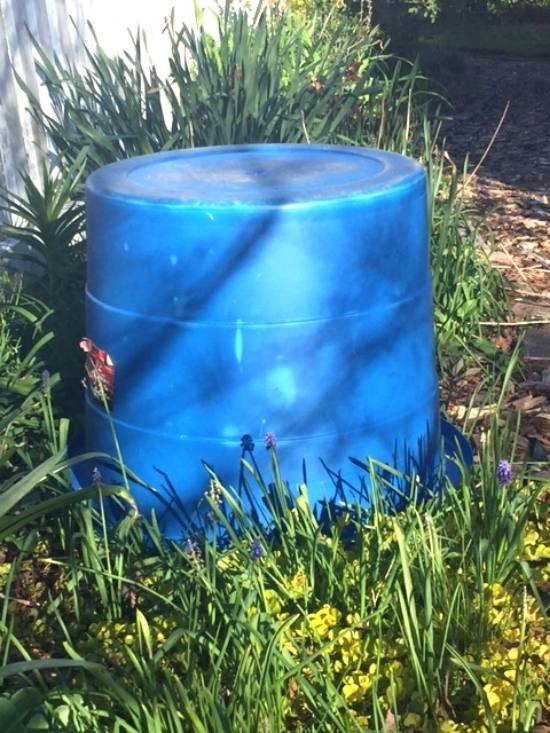 A weed bucket covering a prized Itoh peony. When the sun hits it, it is time to uncover.
