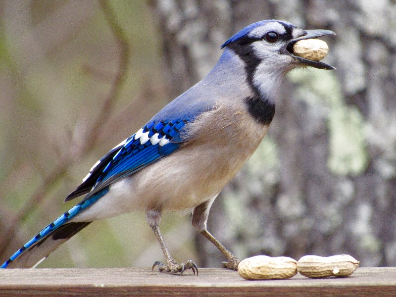 Blue Jay with peanut? Or peanut with Blue Jay?
